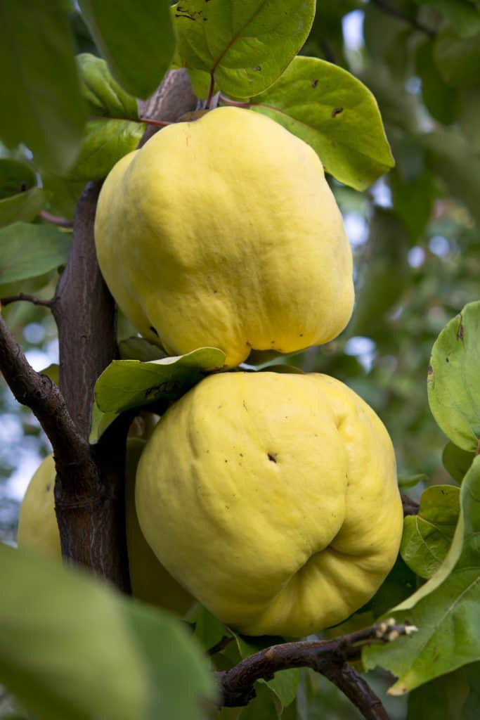 two quince on a tree