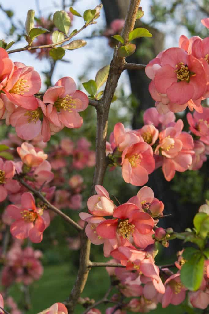 Flowers on a quince tree